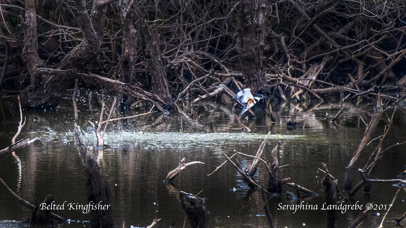 _DSC9575Belted Kingfisher-Recovered.jpg