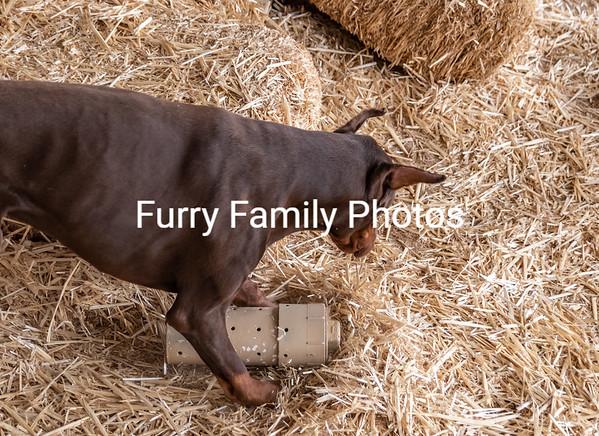 Barn Hunt Casa Grande 2019