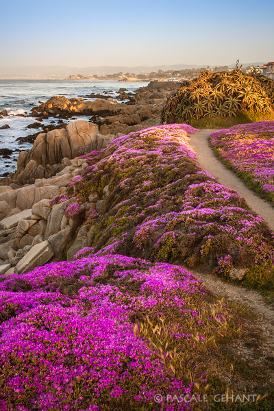 Shoreline in bloom 4- Pacific Grove