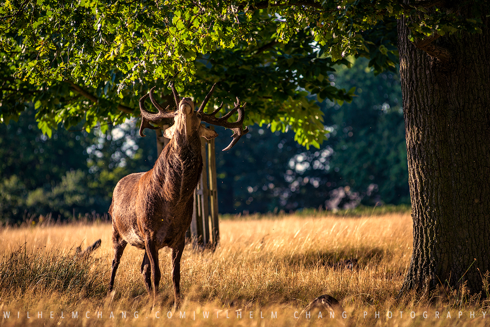 到英國攝影 倫敦里奇蒙公園 Richmond Park by Wilhelm Chang Photography
