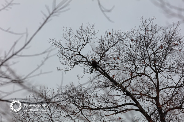 Eagle in Tree - ALL