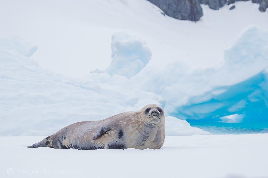 Can you go to Antarctica - Crab Eater Seal - Lina Stock