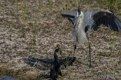 Great Blue Heron faces off with an Anhinga