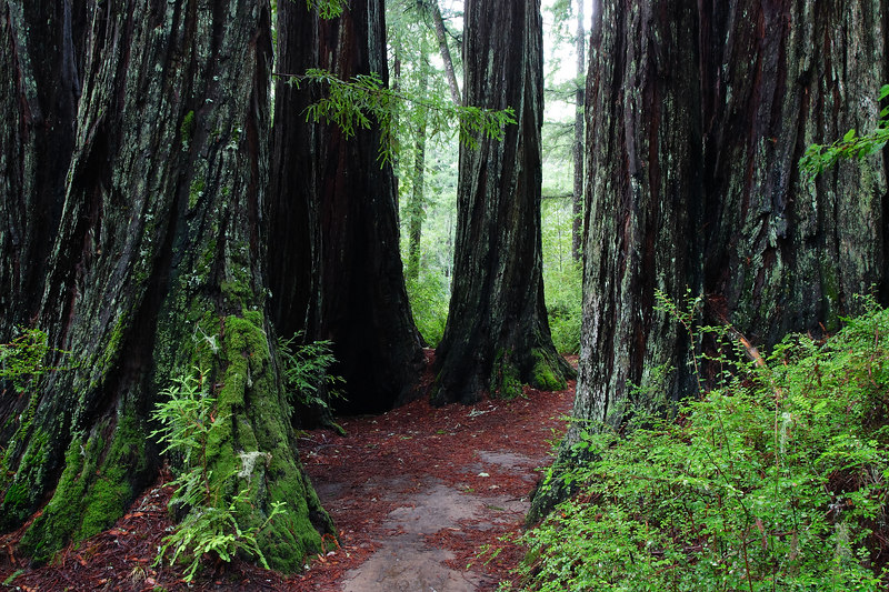 Redwoods and Fern Big Basin Redwoods State Park California