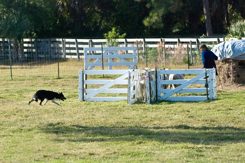 #407 - XP Scot, a Border Collie, qualified on the HRD I course.  He is owned by Lori & Kent Herbel.