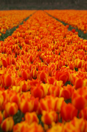 Belgium and Czech Republic goes Holland: Trip to the tulip fields and Katwijk