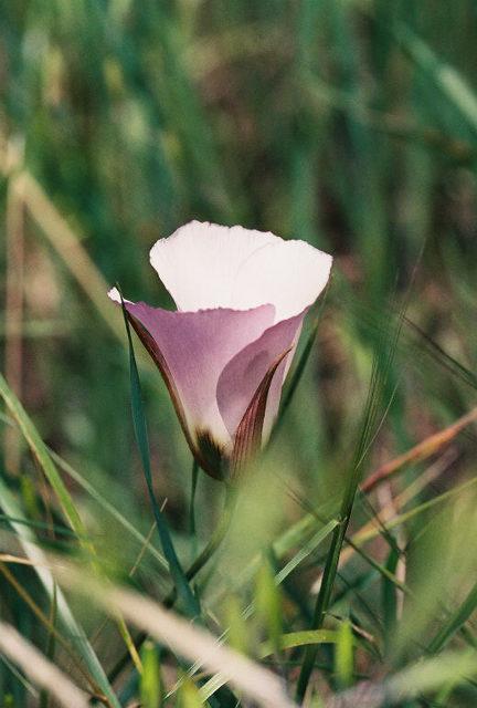 4/3/05 Catalina Mariposa Lily (Calochortus catalinae). Grotto Trail. Circle X Ranch. Santa Monica Mountains National Recreation Area, Ventura County, CA
