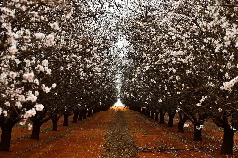 Almond blossom 2018