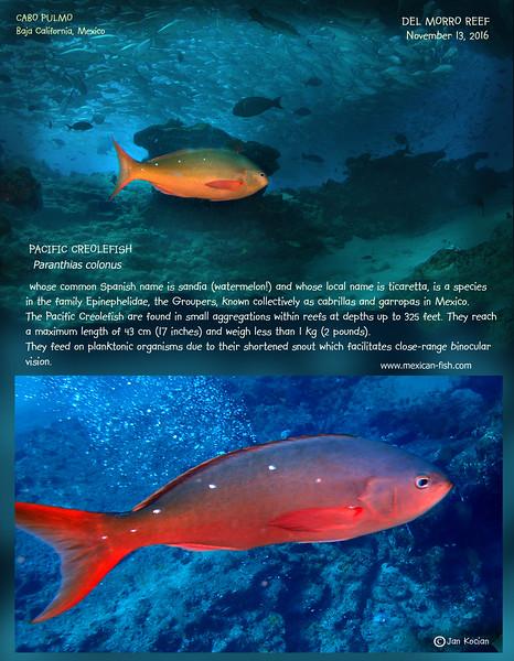 11.13.16 Pacific creole fish .jpg