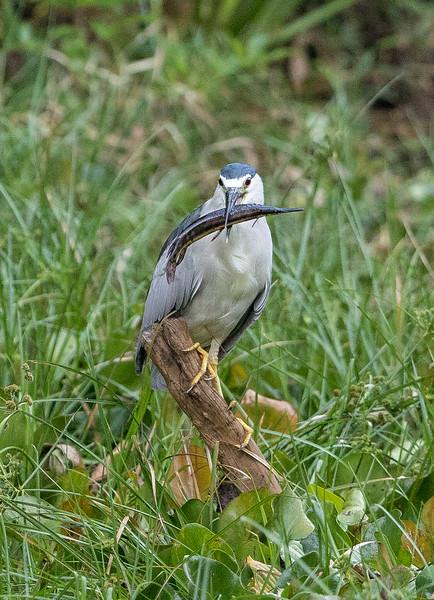 Night Heron Black Prey-6544.jpg