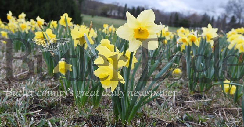 0417_FOC_daffodils_4.jpg