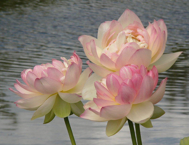 20120105_1557_3046 lotus