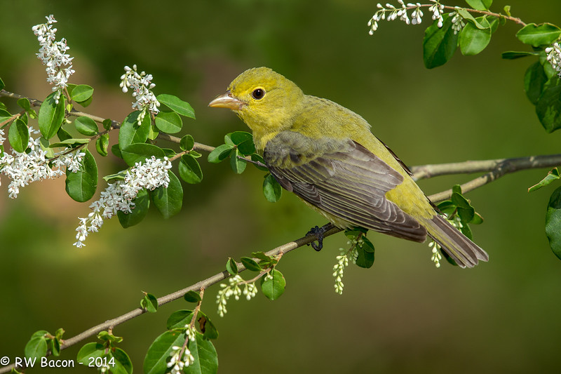 Summer Tanager Female.jpg