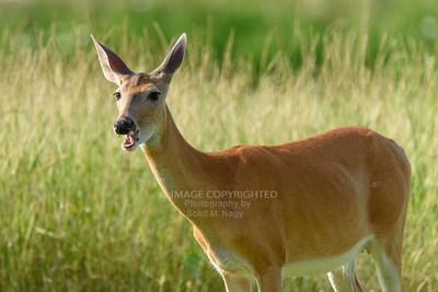 07/16/19 Willowbrook Deer