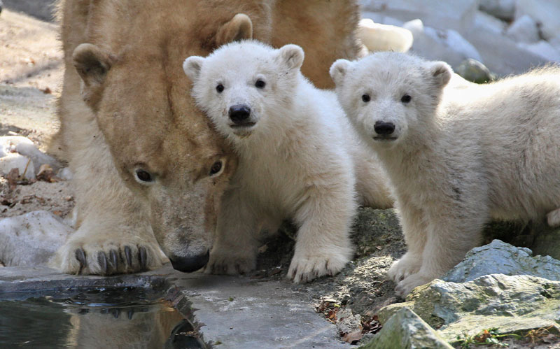 Description of . Two polar bear cubs stand next to their mother, Cora, in their enclosure at the zoo in Brno, Czech Republic.  (Radek Mica, AFP/Getty Images)