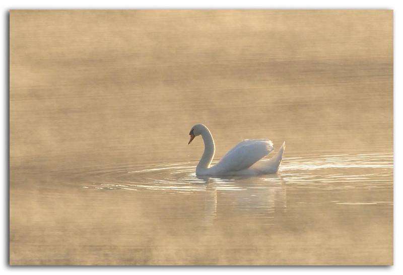 Swan in early morning mist wTC-14E.jpg
