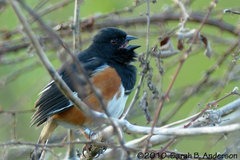 Eastern Towhee (male) singing (note the band on his right leg)  Occoquan Bay NWR, Virginia April 2010