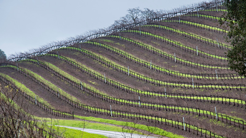 regimented lines of grapevines curve over hill