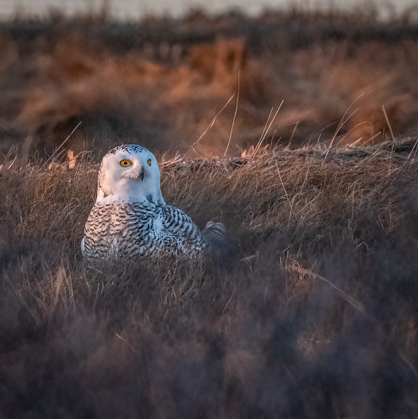 _6000870-Edit Snowy Owl Daisy in the grass.jpg