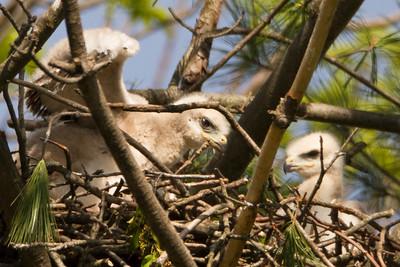 Nesting Redtail
