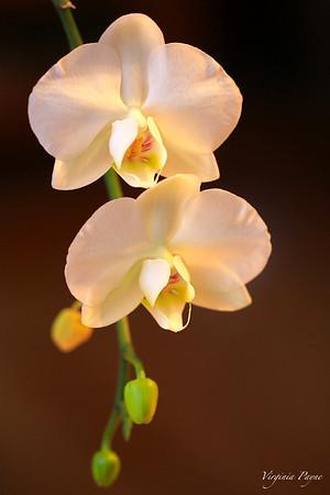Orchids - 2015