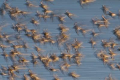 Shorebird mixed flocks