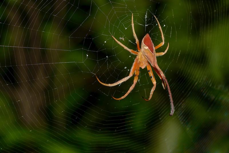Ganesha-Spider-1.jpg
