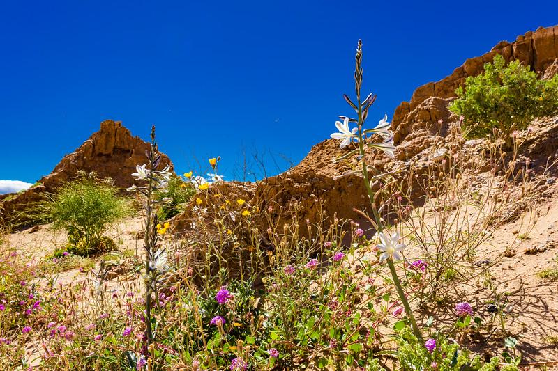 Anza-Borrego Desert Wildflowers Superbloom 2019