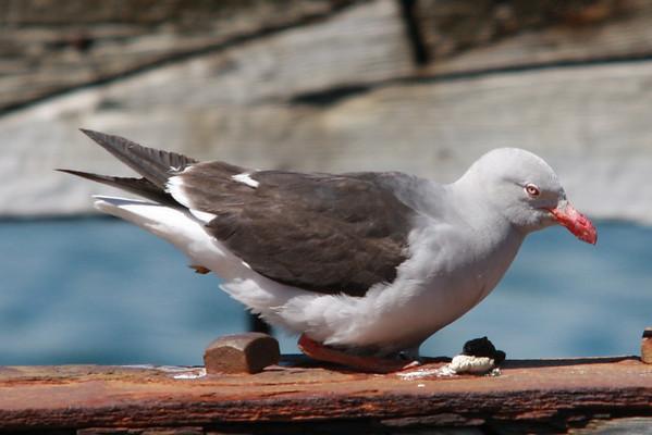 Gaviot Austral Dolphin Gull
