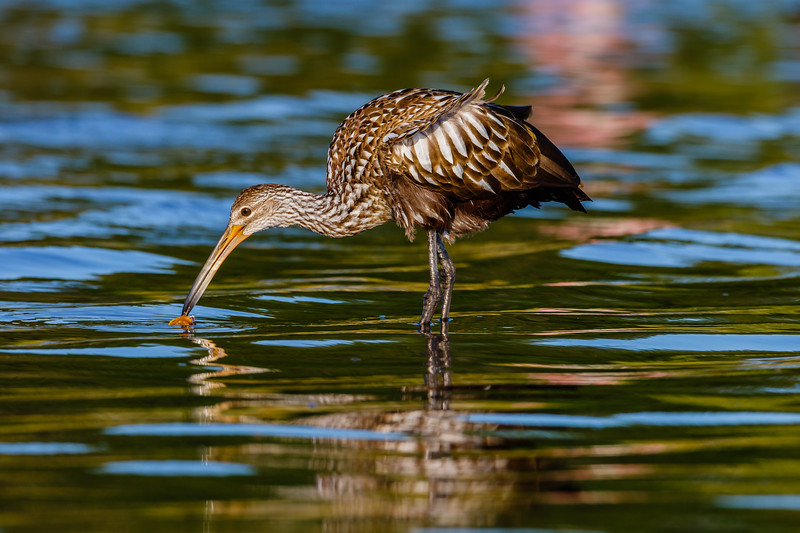 Limpkin at Myakka River SP