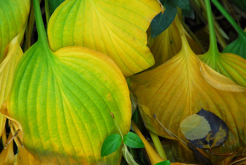 10/16/07 – We finally got a hard freeze and my big hosta in the front yard decided it was done for the year. This is one of my favorite plants in the yard. Check out the image for 6/29 when it was at its prime.