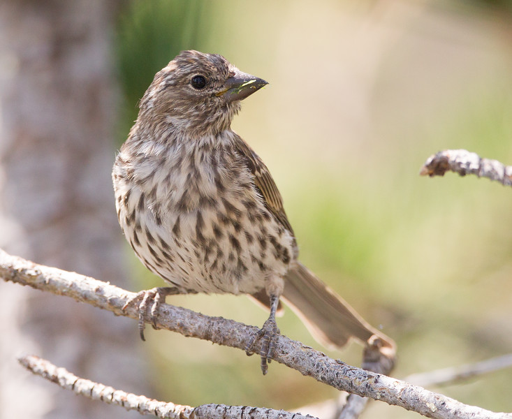 Cassin`s Finch Mammoth Lakes 2018 08 11-2.CR2
