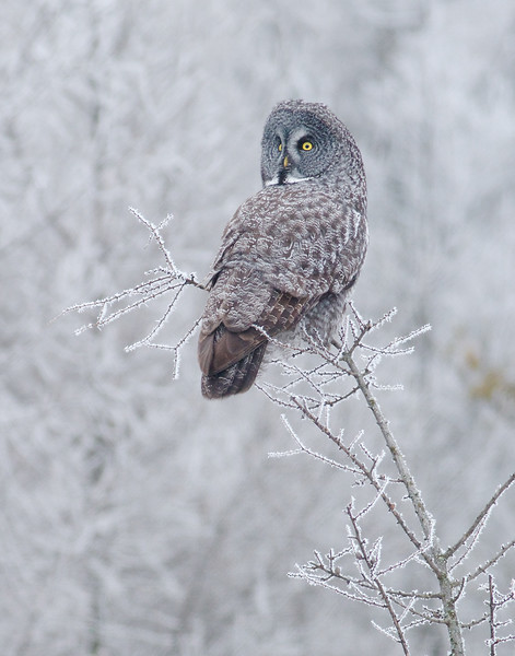Great Gray Owl hoar frost Admiral Road Sax-Zim Bog MN IMG_1592 - Version 2.jpg