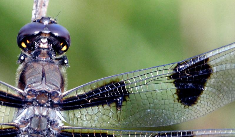 Dragonfly-WingDetail-SFBJuly2015.jpg