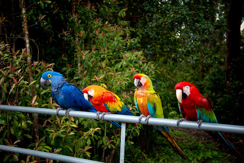 road to hana parrots.jpg