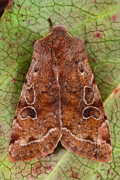 Speckled Green Fruitworm Moth