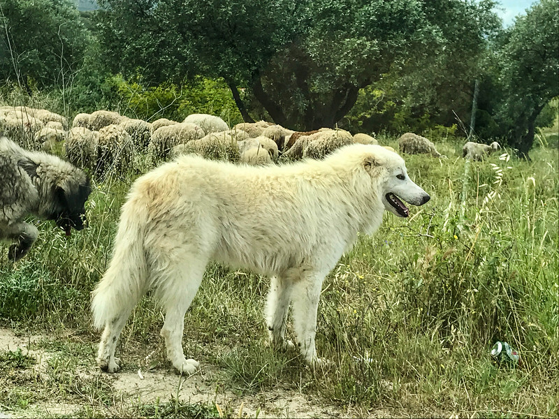 white dog in front of sheep herd