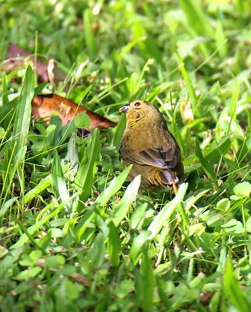 Variable Seedeater, Female, Immature
