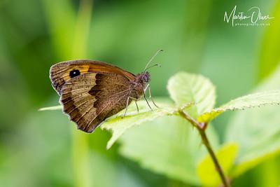 Brown, Meadow