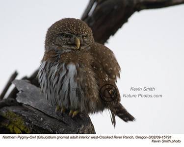 NorthernPygmyOwl15791.jpg