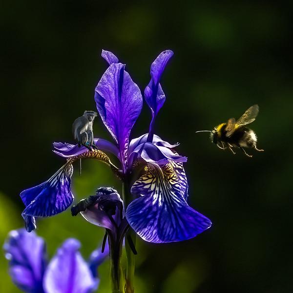 Buff Tailed Bee on Iris plus monkey 5586-2.jpg