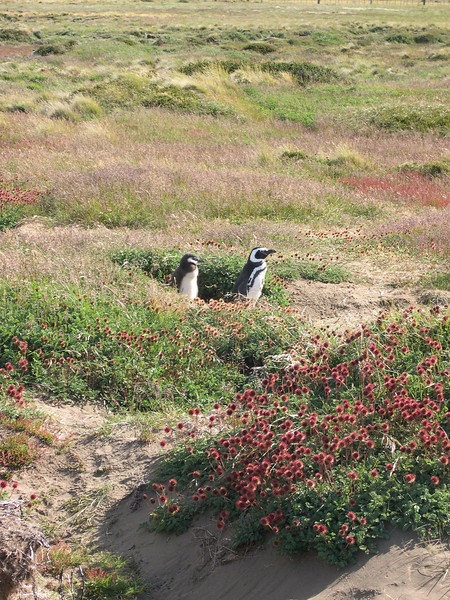Standing guard outside the burrow: The burrows and penguins were scattered in a colony just like the prarie dogs back home