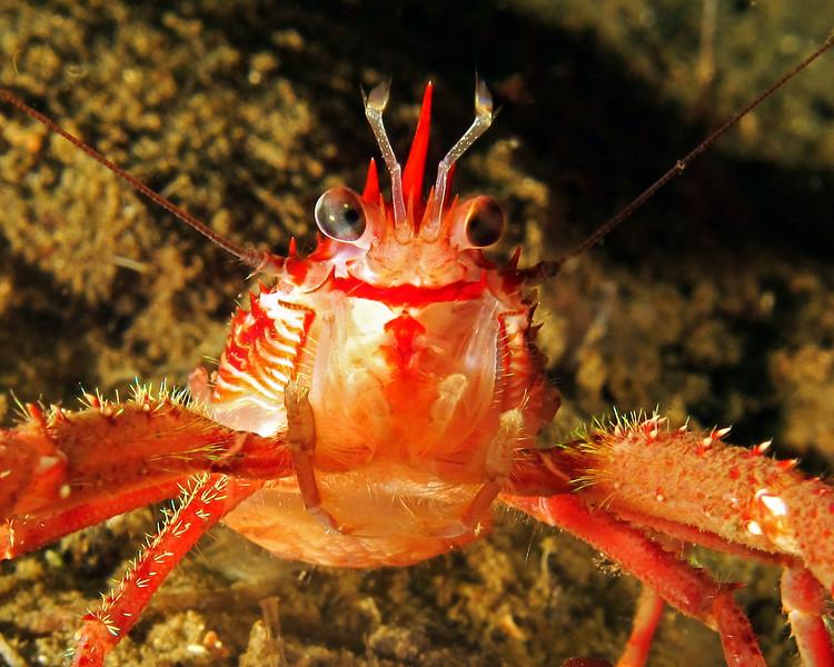 Squat Lobster, Munida  Quadraspina, taken at Sund Rock