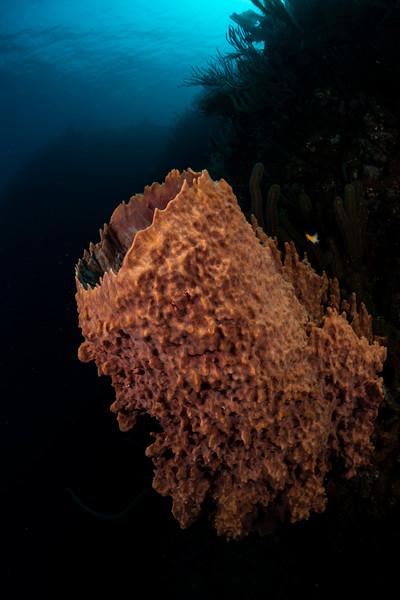 This barrel sponge stands to at the edge of the reef at The Maze divesite, #Utila. #underwaterphotography   #uwphotography #scuba #underwater #duiken #marinelife #diving #Nikon #Nauticam #Duikspotter #traveltips #onderwatersport #ewdr @ewdr_divetravel @utiladivecenter