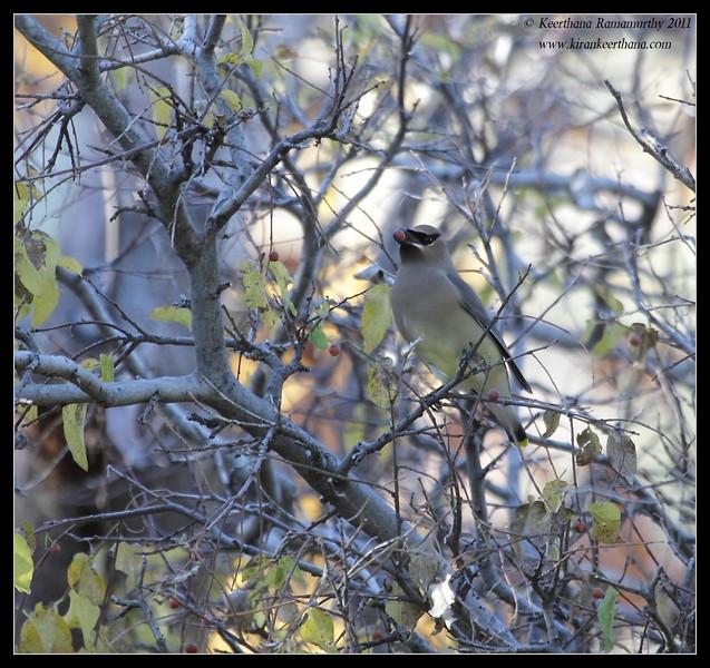 Cedar Waxwing at the Proctor Road Trail, Madera Canyon, Arizona, November 2011