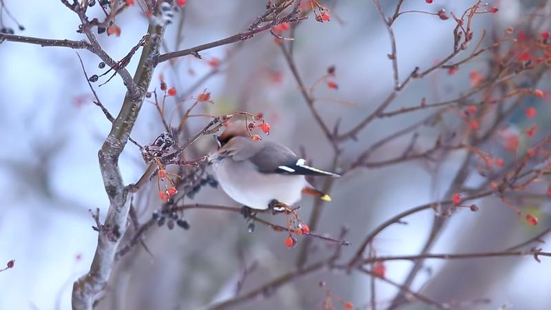 Waxwing Bird Vesterålen