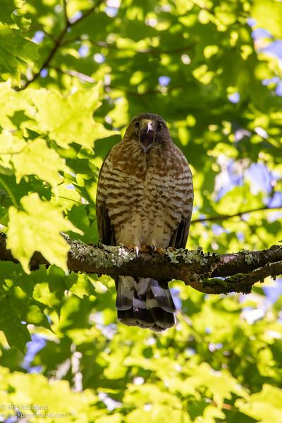 Broad-winged Hawk calling
