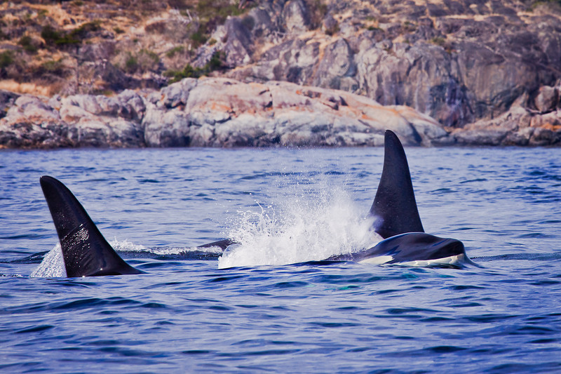 Cavorting Orcas, 8