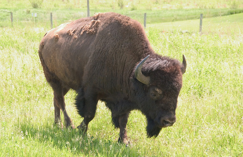 clip-015-buffalo-jasper_co-30may08-2566.jpg