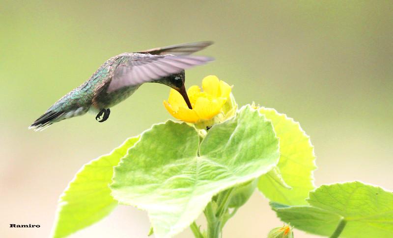 Hummingbird 5-26-15 279.jpg